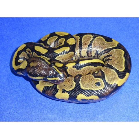 Gravel Ball Pythons