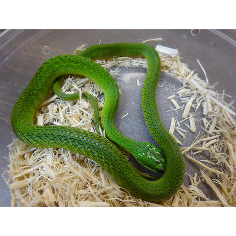 African Green Bush Snakes