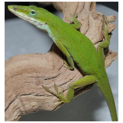 Green Anoles (Group of 3)