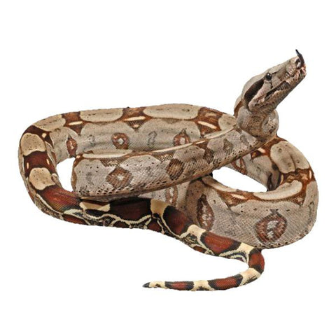 Guyana Red Tail Boas