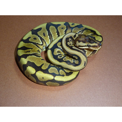High Yellow Belly Ball Pythons