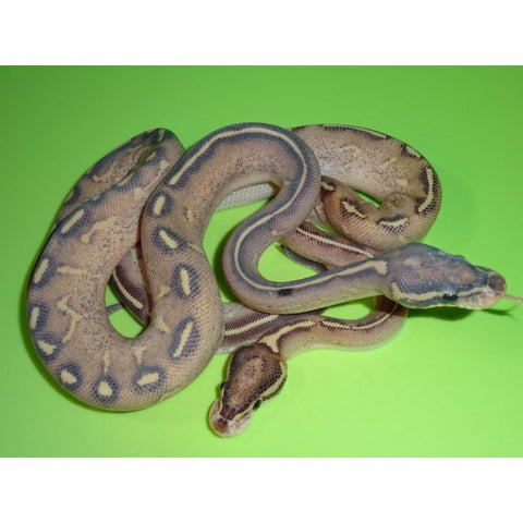 Highway Ball Python