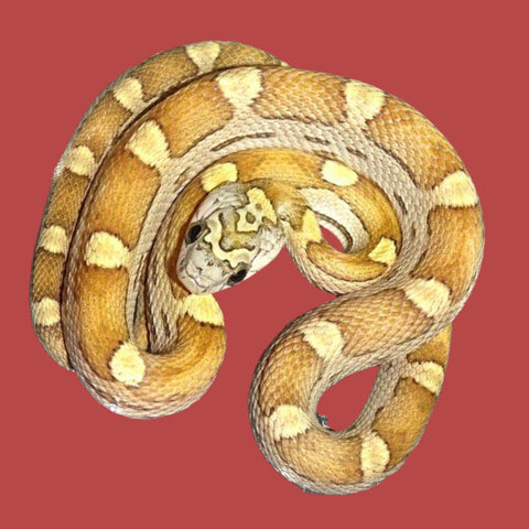 Honey Motley Corn Snakes