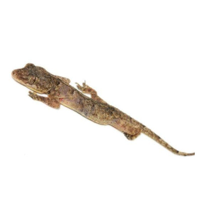 House Geckos (Group of 3)