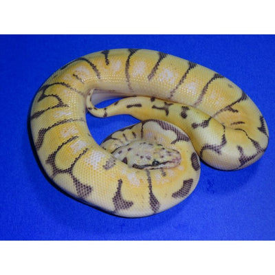 Humble Bee Ball Python