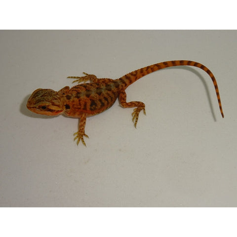 Hypo Red Translucent Bearded Dragon