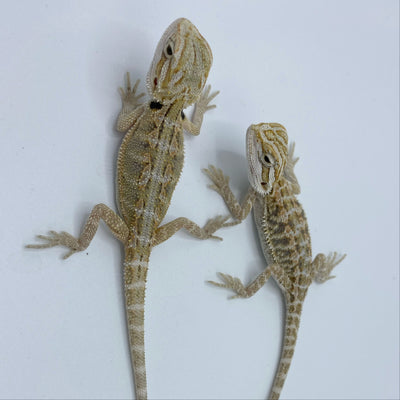 Hypo Snow Bearded Dragons