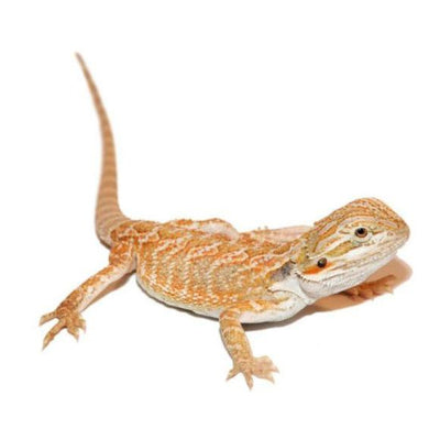 Hypo Bearded Bearded Dragons