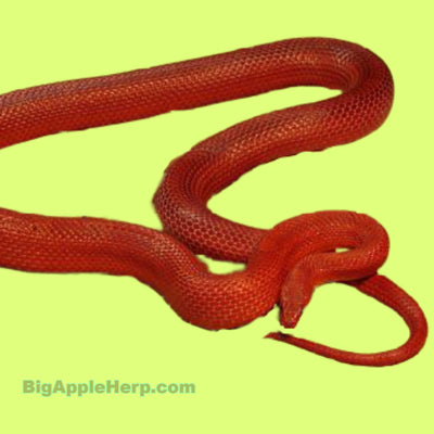 Hypomelanistic Bloodred Corn Snakes