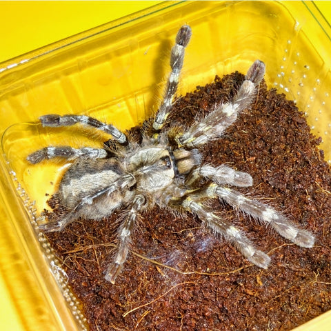 Indian Ornamental Tarantulas