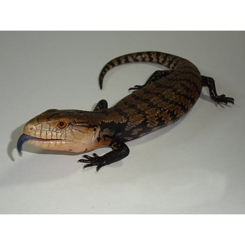 Irian Jaya Blue Tongue Skinks
