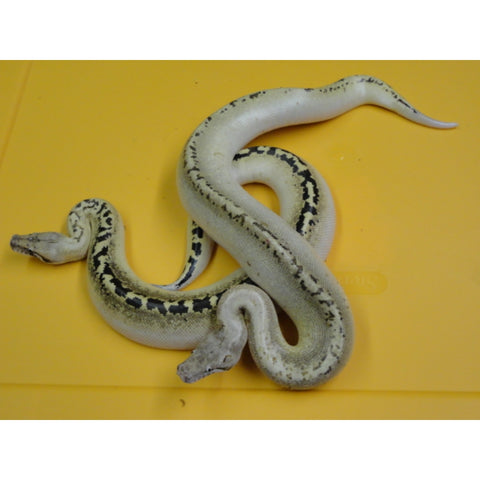 Ivory Blood Pythons