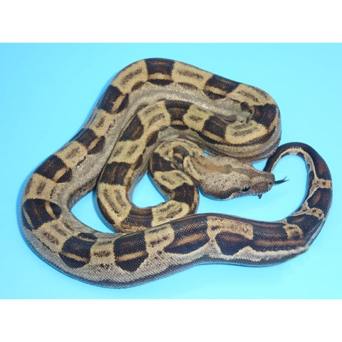 Jungle Motley (Het Albino) Boas