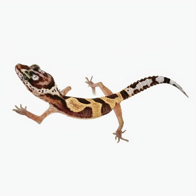 Jungle Leopard Geckos