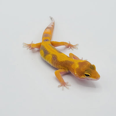 Hypo Jungle Leopard Geckos