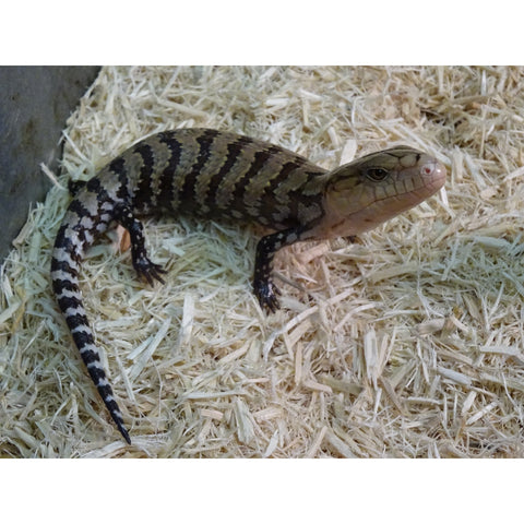 Kei Island Blue Tongue Skinks