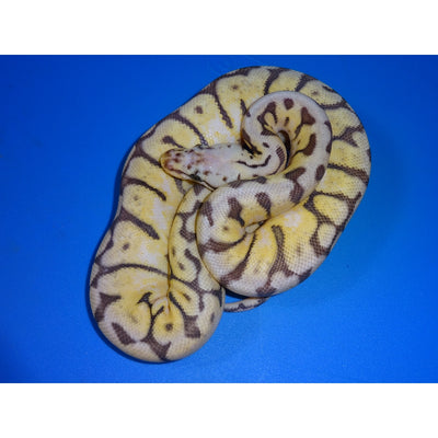 Killer Bee Ball Pythons