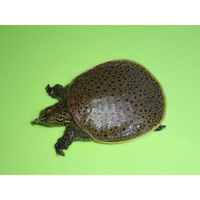 Leopard Softshell Turtles