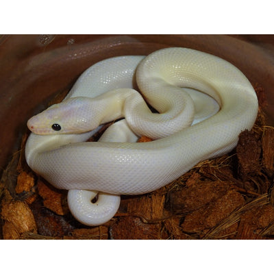 Leucistic Black Eye Colombian Rainbow Boas