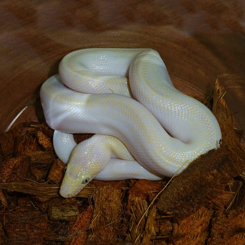 Leucistic Blue Eye Colombian Rainbow Boas