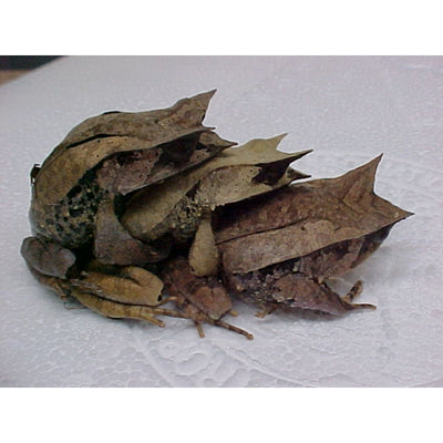 Malayan Leaf Frogs (Adult Males)