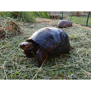 Melanistic Red Foot Tortoises