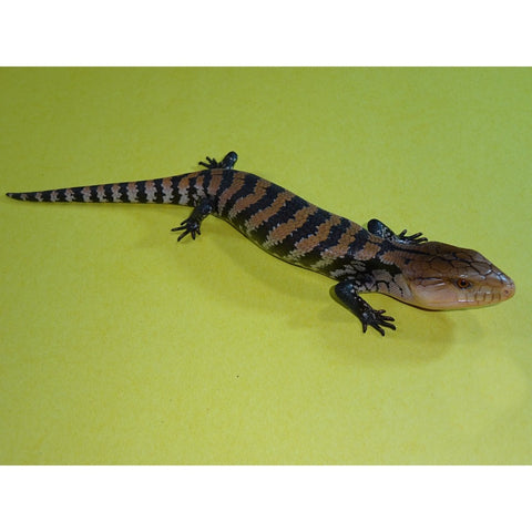Merauke Blue Tongue Skinks