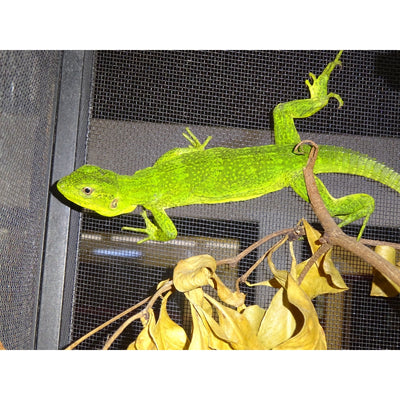 Mexican Spinytail Iguanas