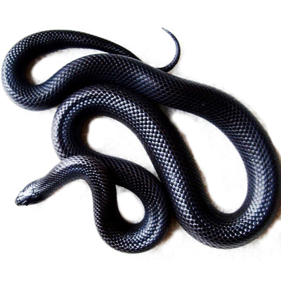 Mexican Black Kingsnakes