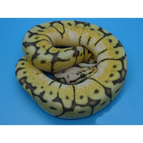 Mocha Bumble Bee Ball Python