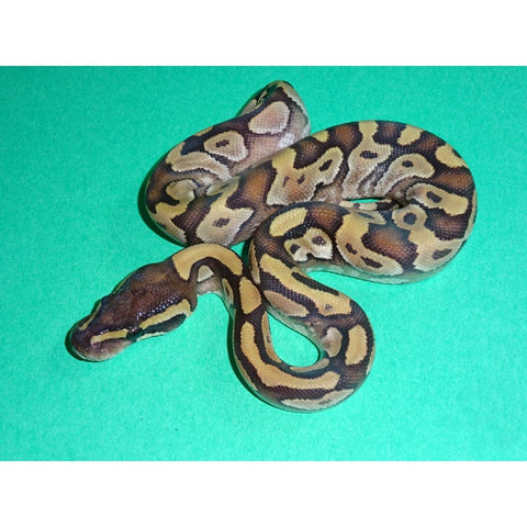 Mojave Enchi Ball Pythons