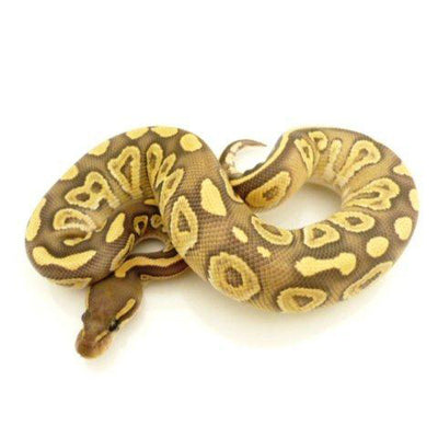 Mojave Ghost Ball Pythons