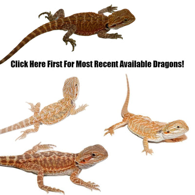 Complete List of Bearded Dragons