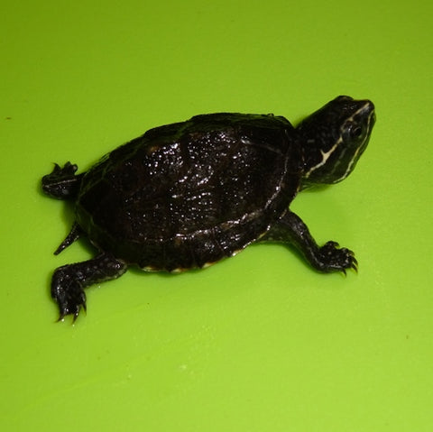 Musk Turtles (Common)