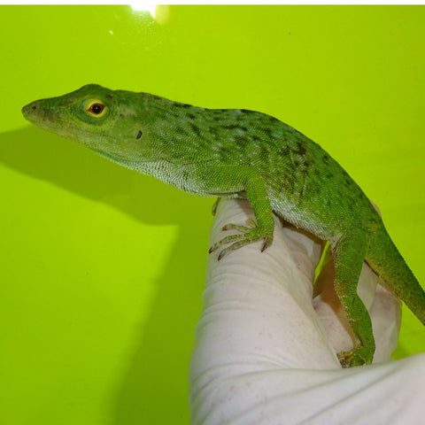Neotropical Giant Green Anoles