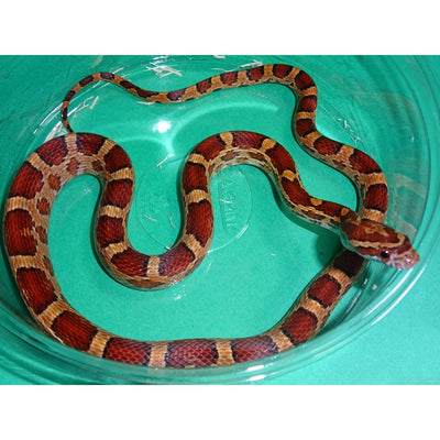 Okeetee Corn Snake Het Scaleless