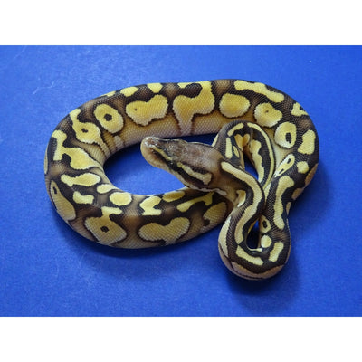 Pastel Butter Ball Pythons