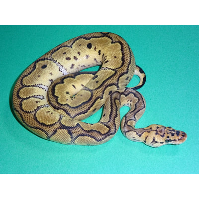 Clown Pastel Ball Pythons