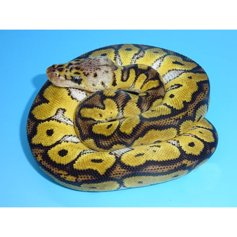 Pastel Clown Ball Pythons