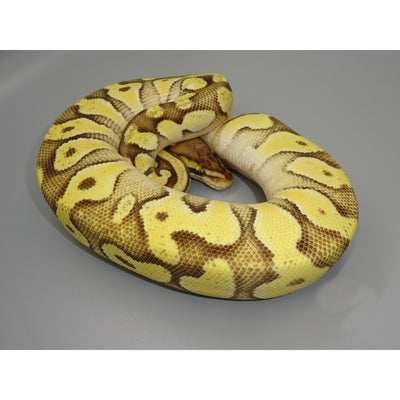Pastel Enchi Mojave Ball Pythons