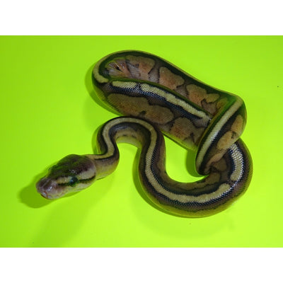 Pastel Genetic Stripe Ball Pythons