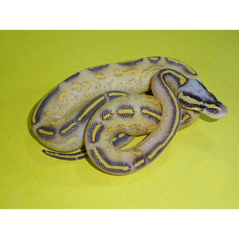Pastel Highway Ball Pythons