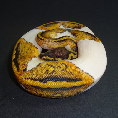 Pastel Pied Ball Pythons 40% to 69%