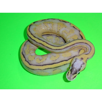 Pastel Super Stripe Ball Pythons