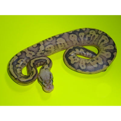 Pastel Vanilla Fire Ball Pythons