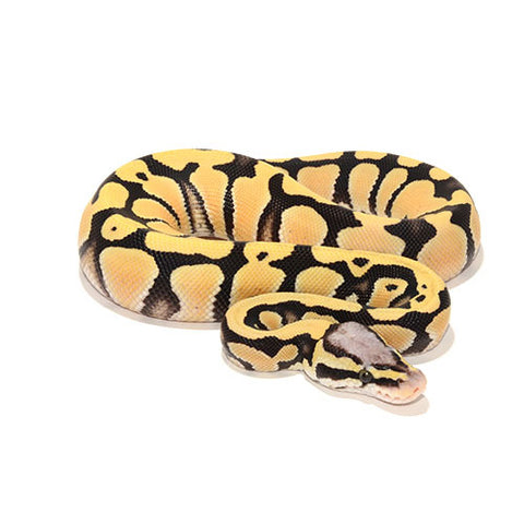 Pastel Desert Ghost Ball Pythons