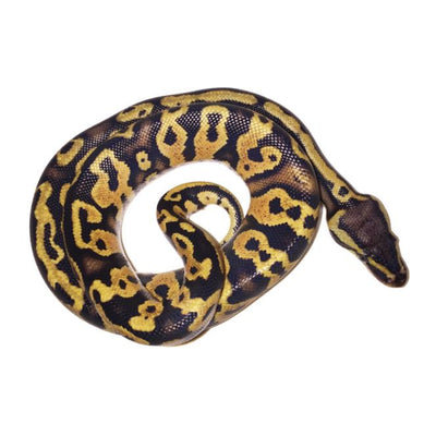 Pastel Yellowbelly Ball Pythons