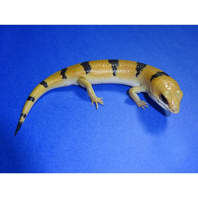Peter's Banded Skinks