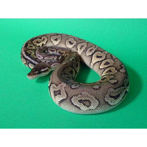 Pewter Ball Pythons
