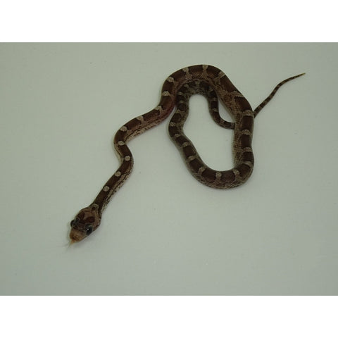 Pewter Corn Snake